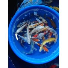 koi mix 30-35 cm handpick HQ Koi en vijvervissen